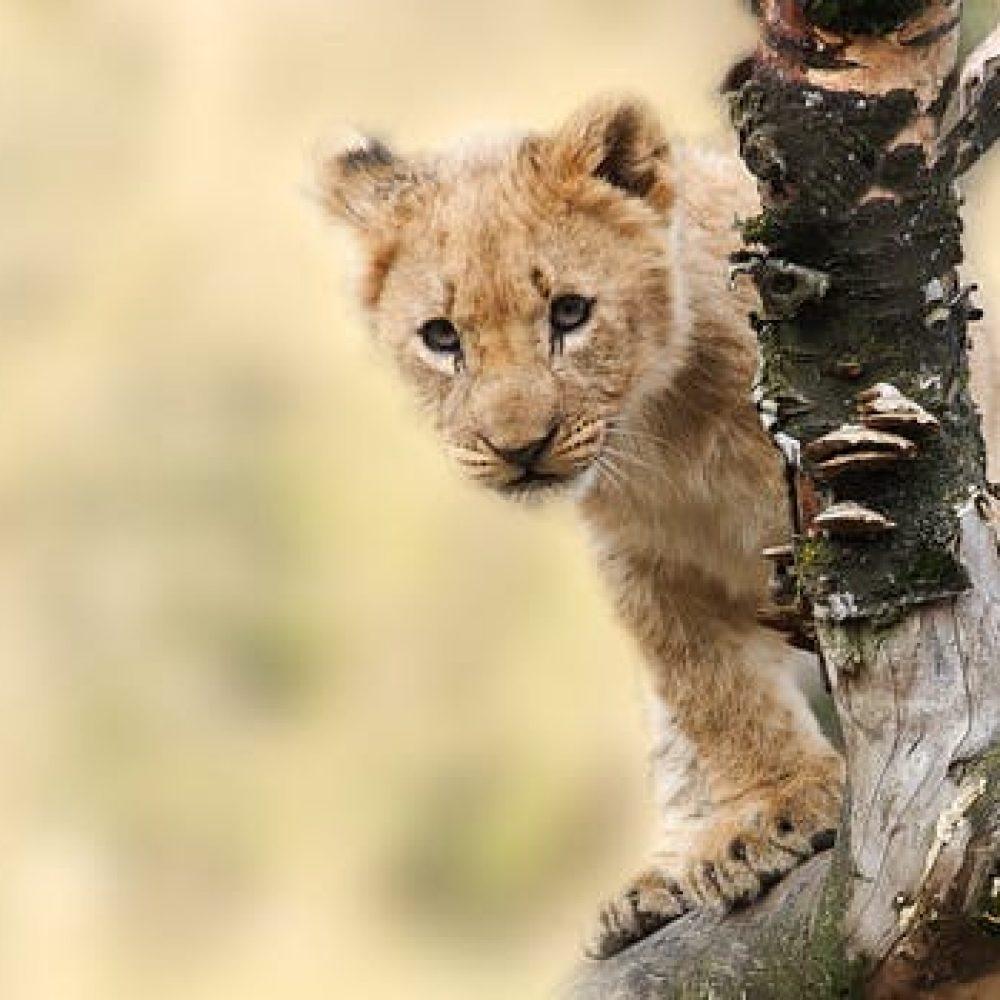 lion-animal-nature-predator-40835